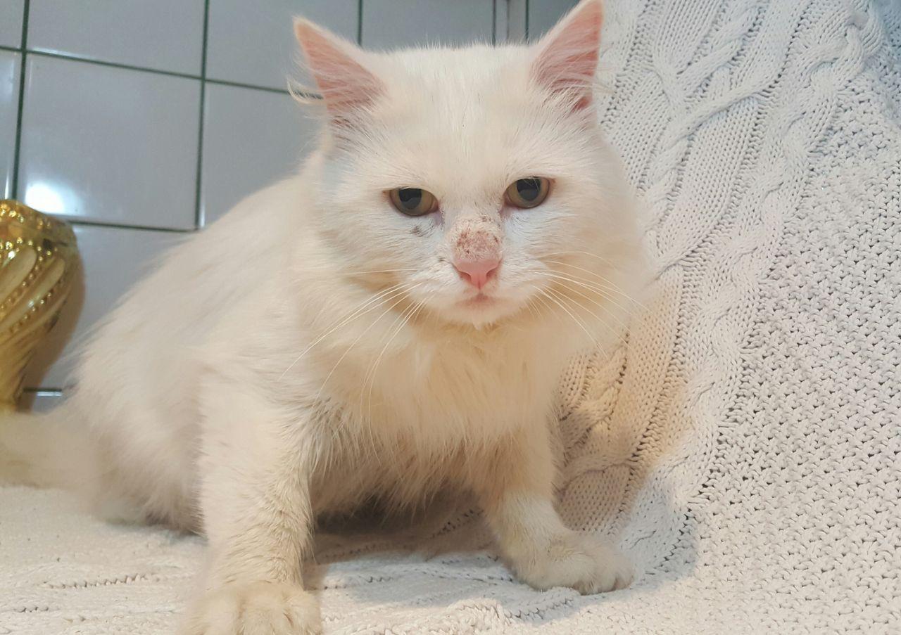81f2945105 pure white turkish angora cat. Turkish Angora Cat is a breed of domestic cat.  Turkish Angoras are one of the ancient