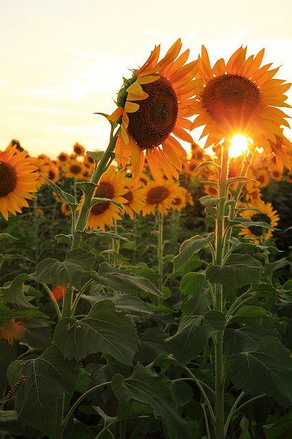 Sunset Con Immagini Girasoli Campi Di Girasole Fiori