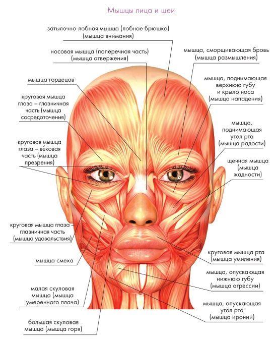 фото мышцы лица