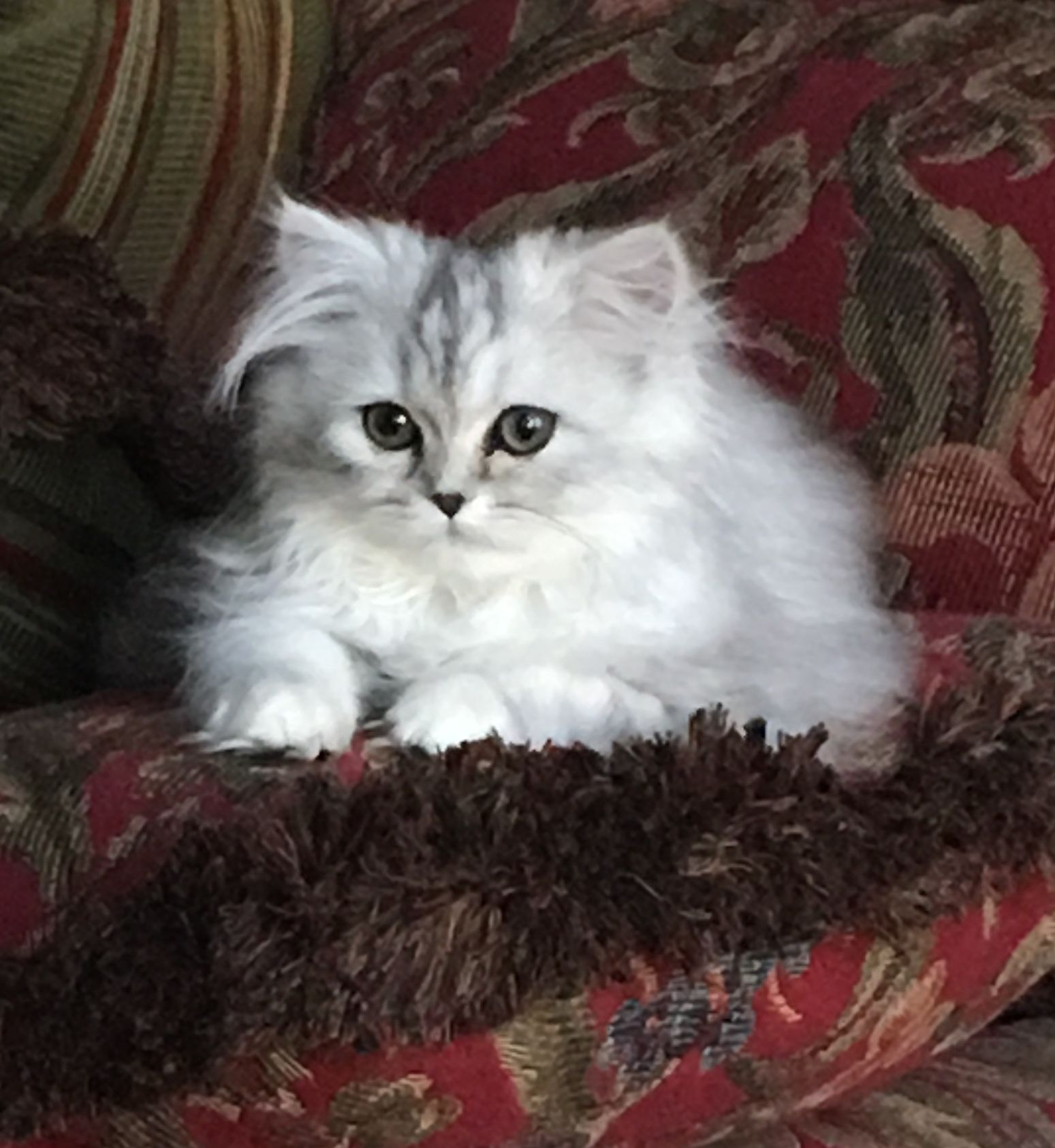 Pin By Powderpuff Persians On Powderpuffpersians Com Persian Cat Doll Face Persian Cats For Sale Persian Cat