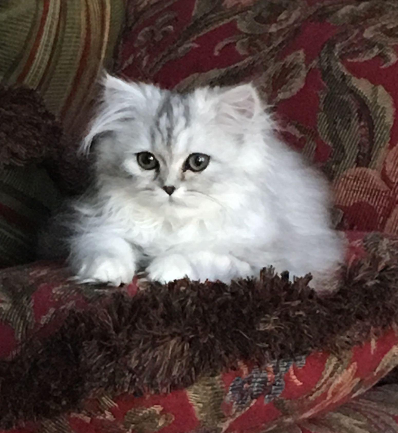 Pin By Powderpuff Persians On Powderpuffpersians Com Persian Cat Doll Face Persian Cats For Sale Persian Cat