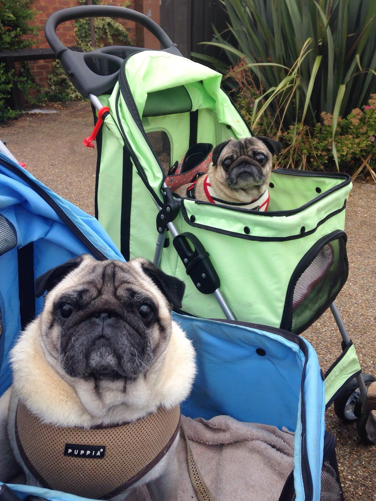 My pug blue made a new and equally ridiculous friend today