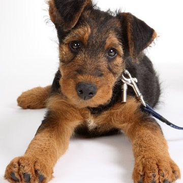 Teething Remedies For Puppies The Daily Puppy Airedale Terrier Puppies Terrier Dog Breeds Cute Dog Photos