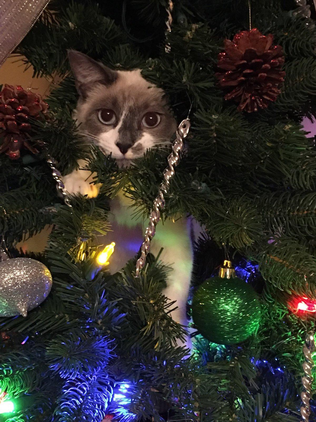 Obligatory Kitten In The Christmas Tree Shot Reddit Meet Scampers