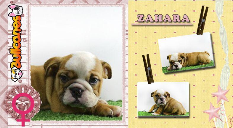 Zahara Chuck Miniature Bulldog Puppy For Sale By Bullcanes
