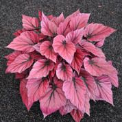 Begonia Rex, Shadow King™ Pink