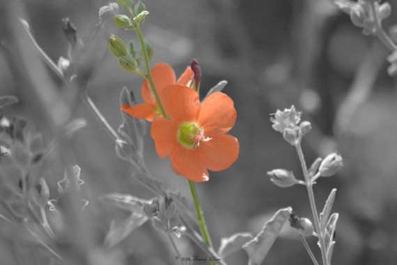 Single orange flower black and white color accent by brandyelsom