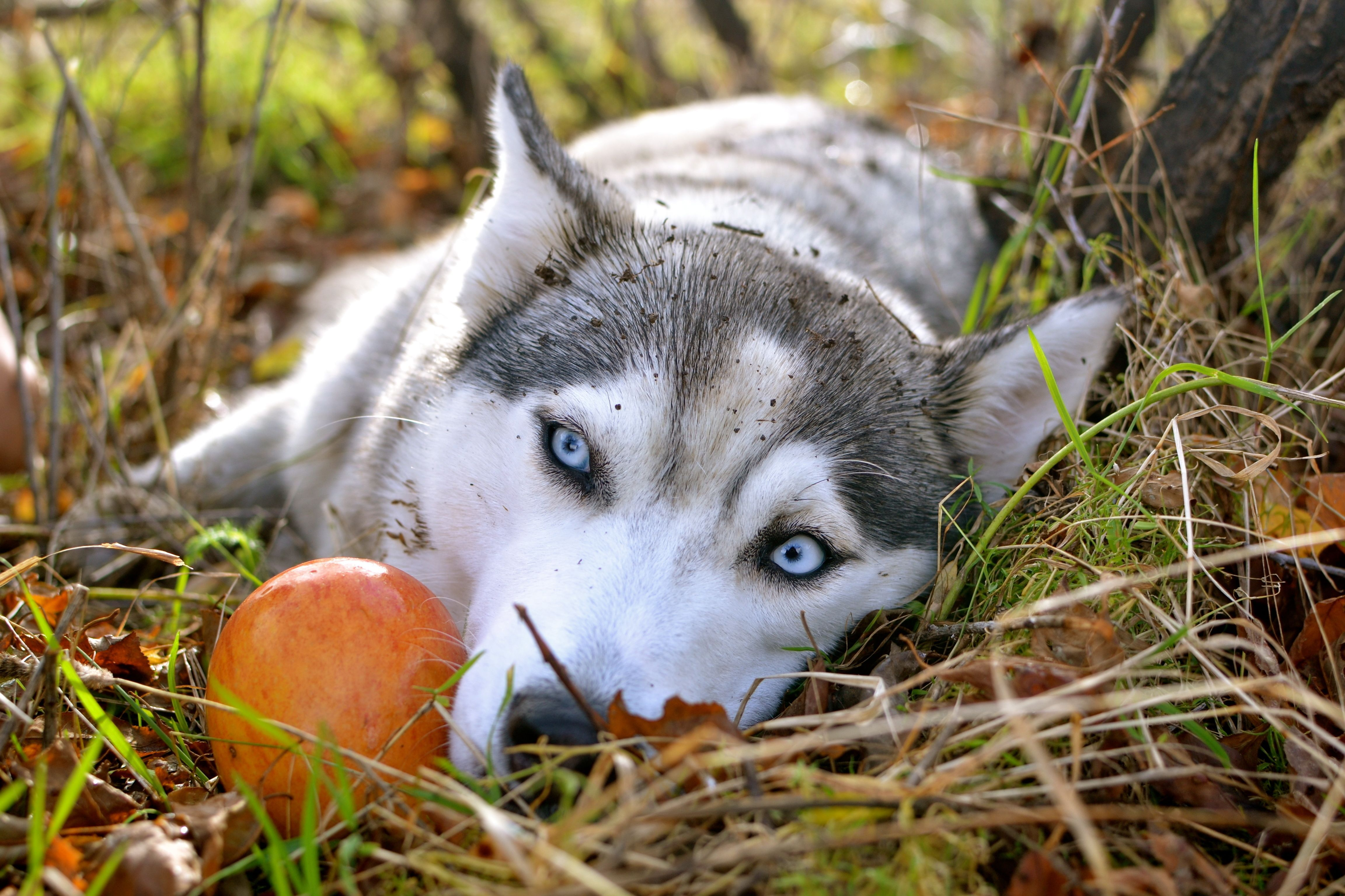 Siberian Husky Siberianhusky Husky Puppy