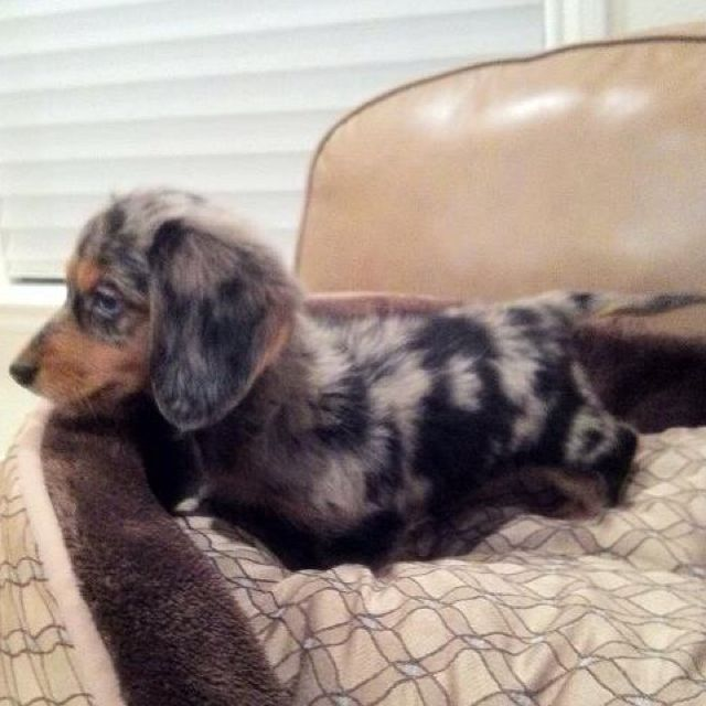 My Speckled Doxie Weenie Dogs Dachshund Puppies Doxie Puppies