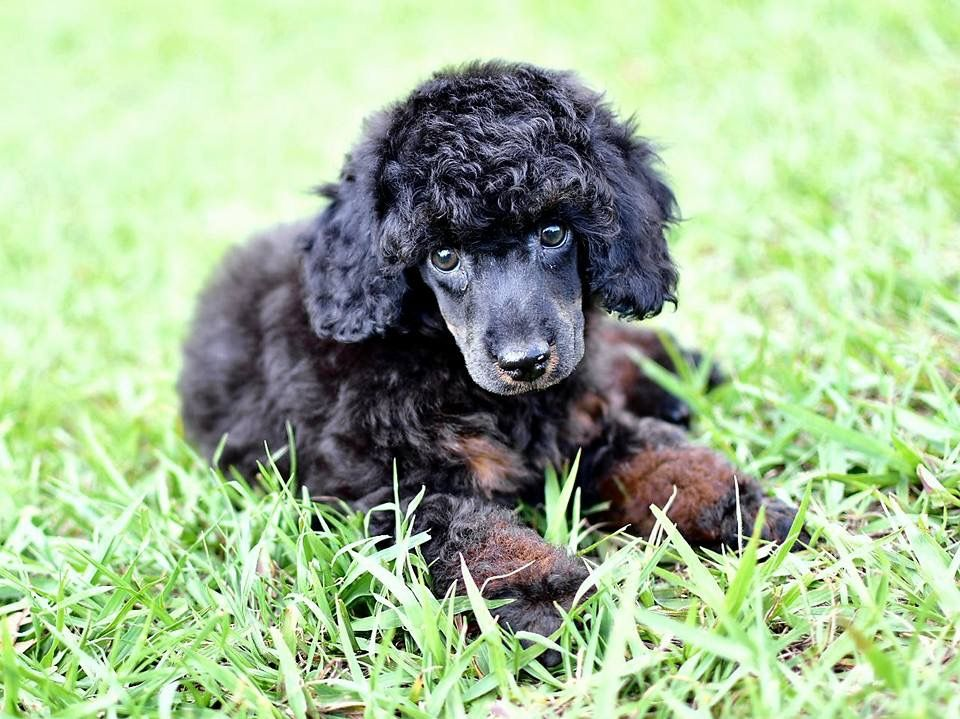 Pin By Dee Cochrane On Poodle Magic Cute Animals Poodle Animals