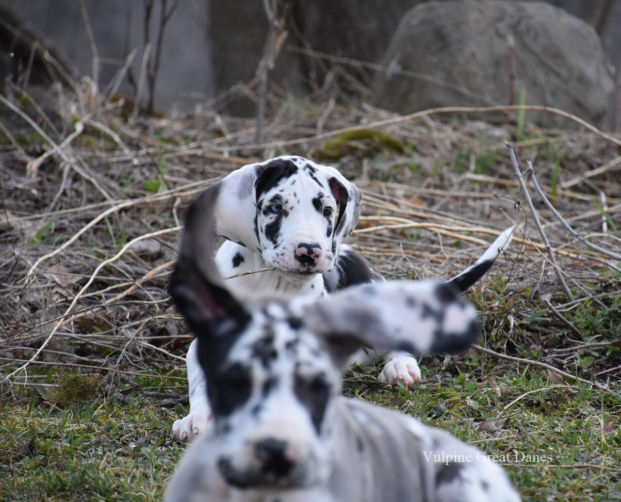 Pin By Vulpine Great Danes On Harlequin Great Dane Puppies