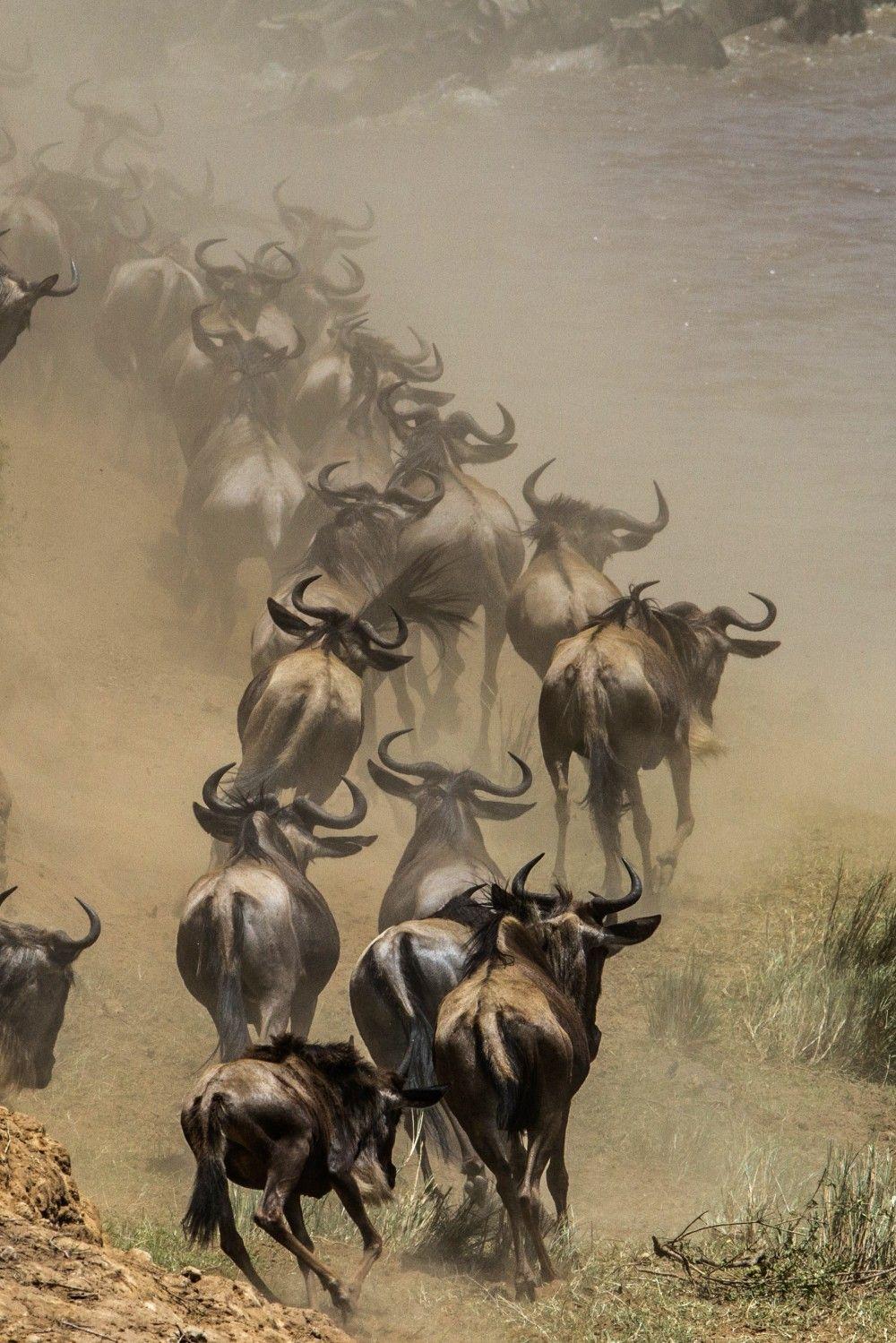 Gnoes (gemaakt in Masai Mara NP)