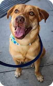 Labrador Retriever German Shepherd Dog Mix Dog For Adoption In Houston Texas Sparky