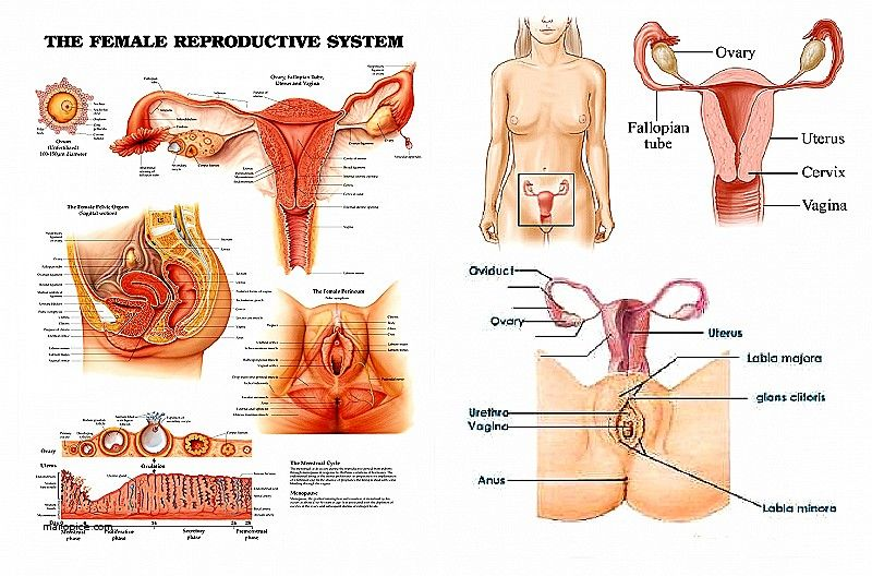 Girl digestive system diagram electrical work wiring diagram the female reproductive system diagram www anatomynote com rh pinterest com respiratory system diagram digestive system diagram unlabeled ccuart Images