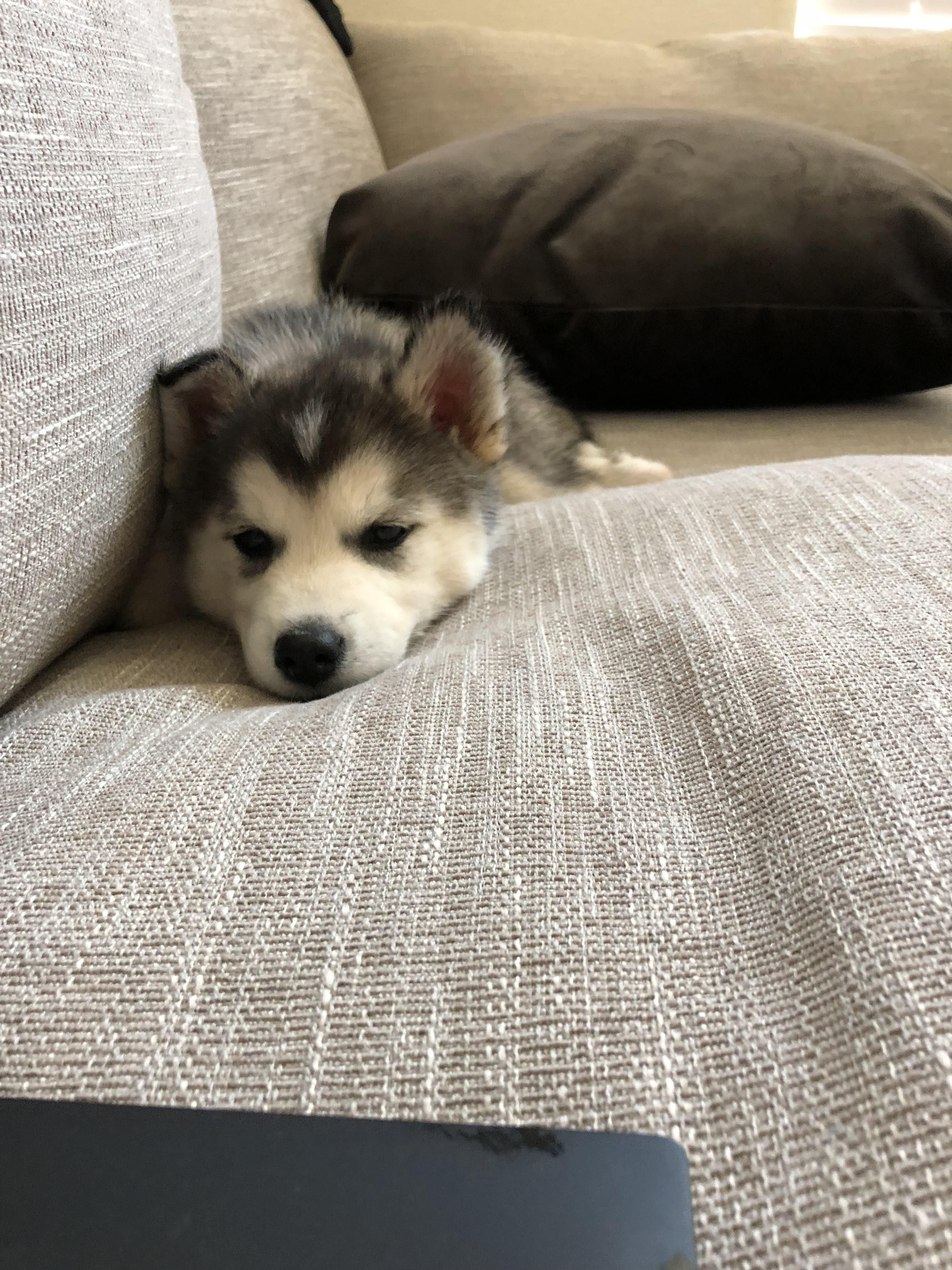 Do You Guys Think My New Puppies Right Ear Will Stand Up Like The