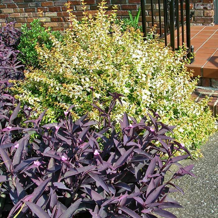 Kaleidoscope Abelia By Front Steps