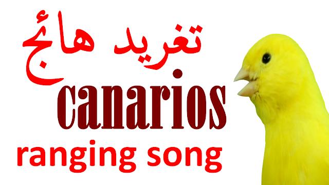 تغريد طائر الكناري الهائج تغريد الكناري لتهييج الإناث للتزاوج اجمل تغريد صوت الكناري طائر الكناري تسميع كناري نار صو Canary Birds Friend Photos Songs