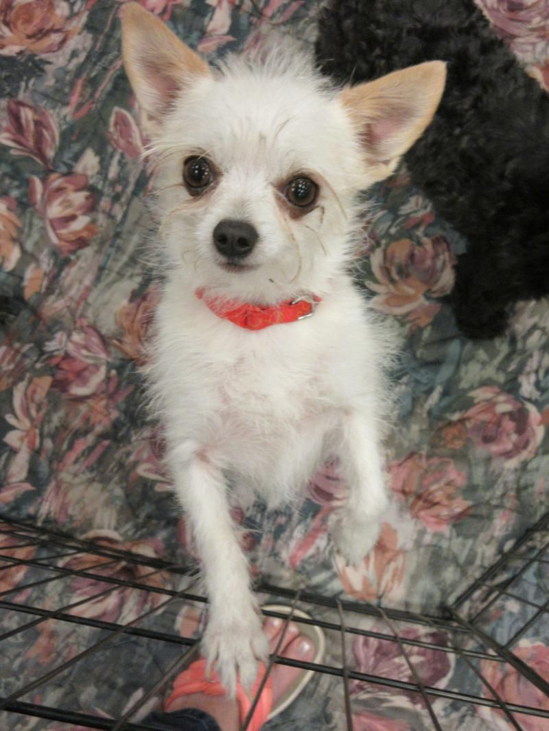 Adopt Snowball Beauty On Chihuahua Terrier Mix Terrier Mix