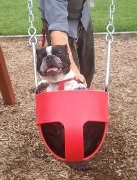 Igor enjoying a summer evening at the playground!  #bostonterriers #fun #summer #cute #sweet