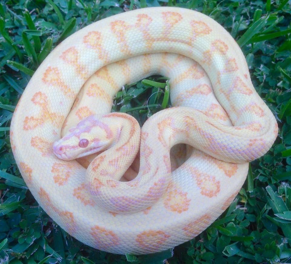 Albino jag carpet python... breathtaking... $2000 oh my.