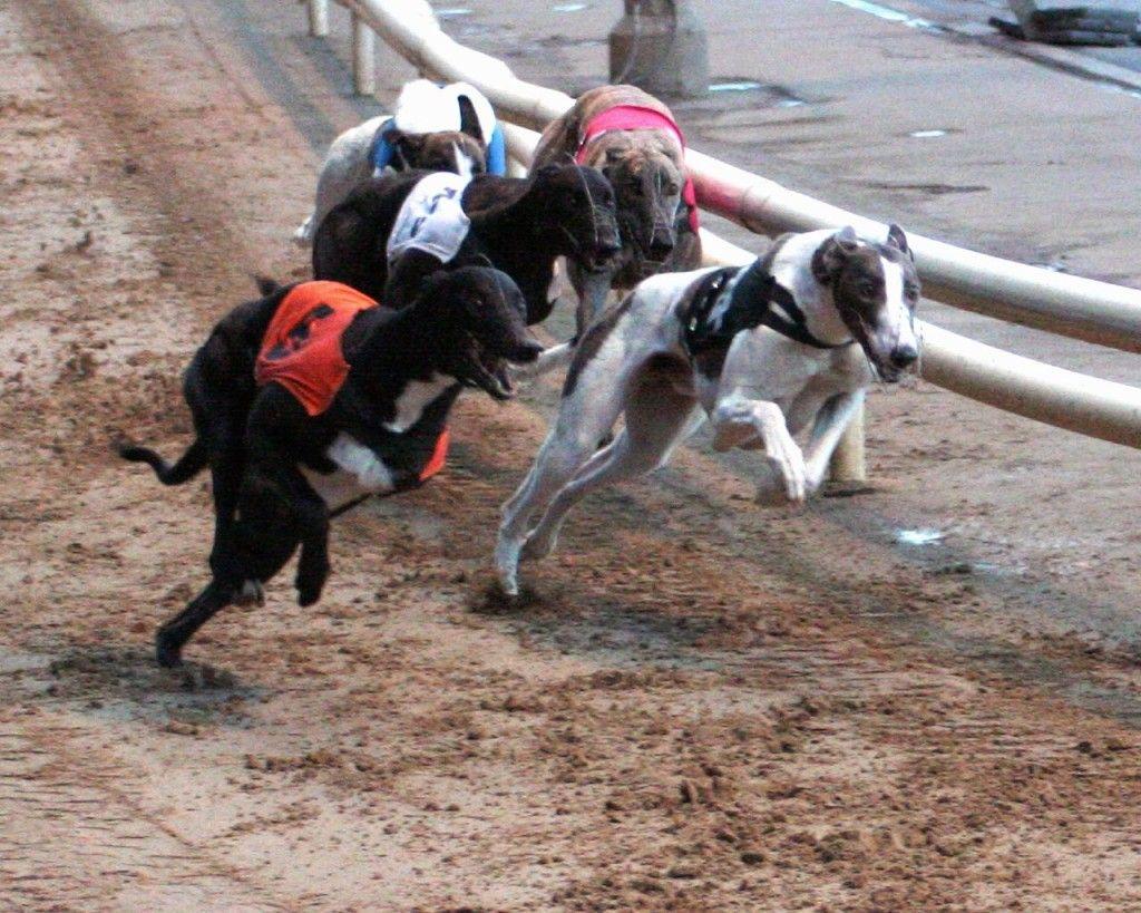Ban Tax Credit For Dog Racing Park Greyhounds Racing Greyhound Dogs