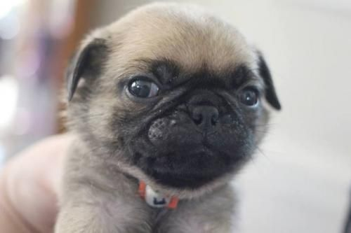 Awesome Akc Pug Puppies For Adoption Free Classifieds Pug