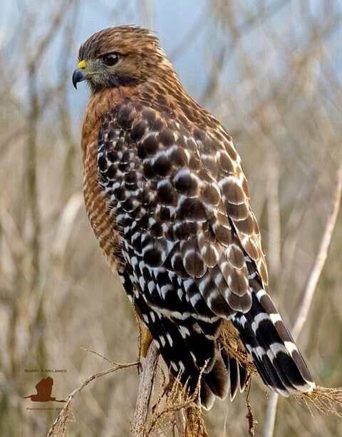Red Shouldered Hawk Rovfugle Smukke Fugle Dyr