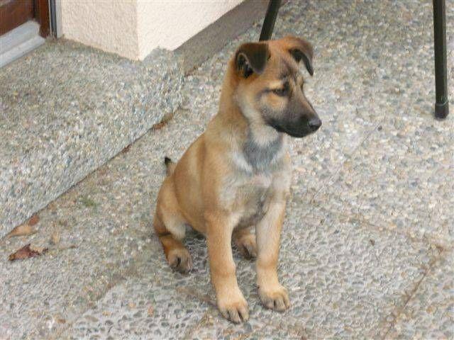 SchäferhundTerrierMischling Hundies Pinterest Dog