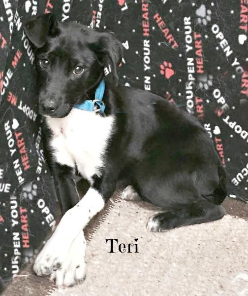 Meet Teri A Petfinder Adoptable Labrador Retriever Dog Jackson Oh Teri Is An Adorable 4 Month Old Baby Who Weig Dogs Labrador Retriever Dog Retriever Dog