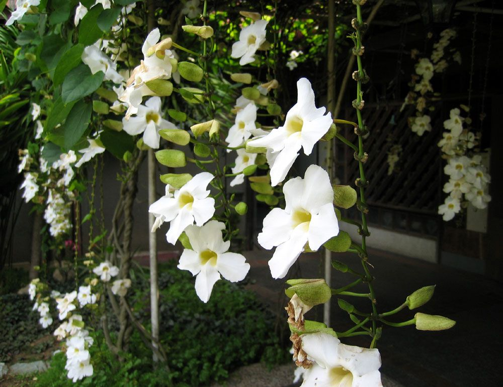 Philippine Trees And Garden Flowers Flowering Vines Trellis Plants Flowering Trees