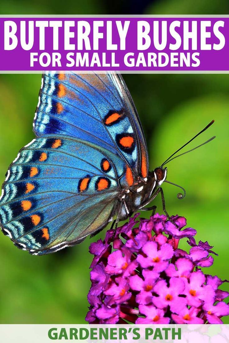 Best 6 Perennial Bushes to Attract Butterflies | Butterfly ...