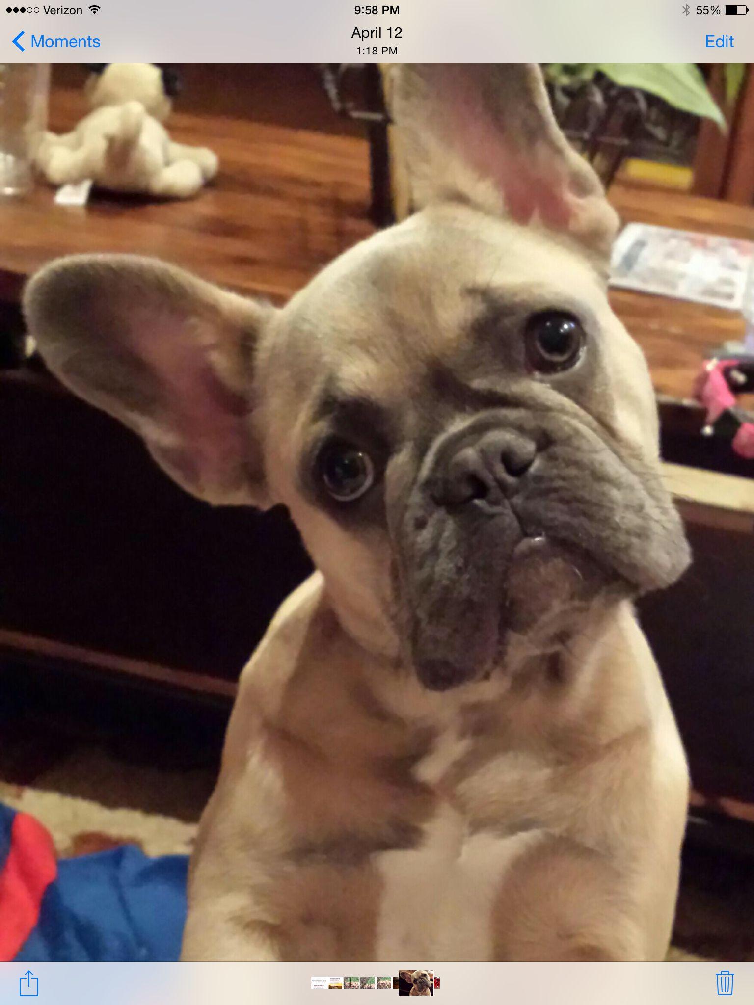 Bella Blue Fawn French Bulldog Blue Fawn French Bulldog Puppies And Kitties Baby French Bulldog