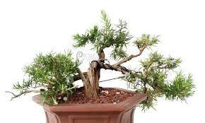 Risultati immagini per rosmarino prostrato bonsai