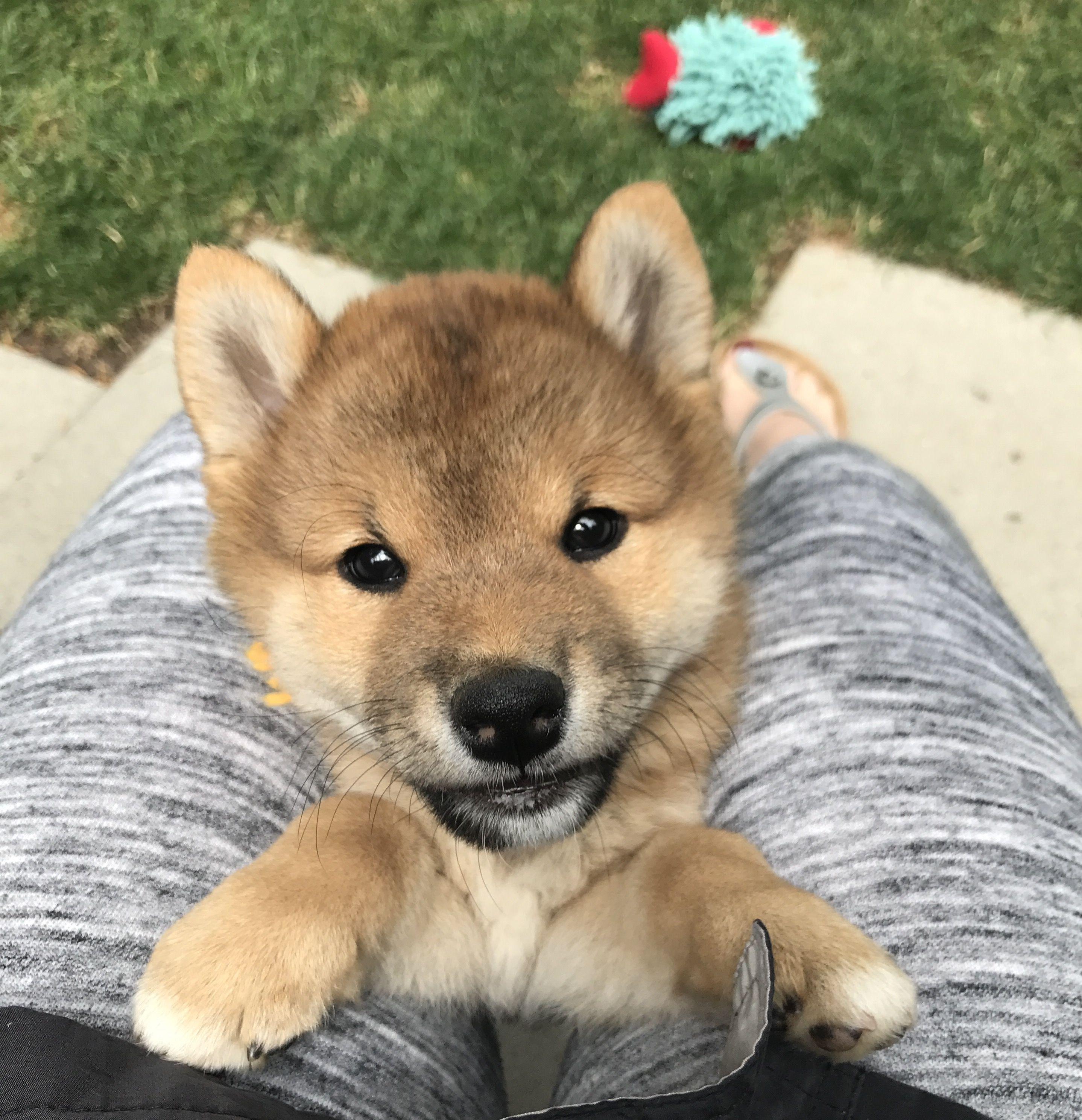7 Week Old Shiba Inu Puppy His Name Is Ren Shiba Inu Shiba Inu Puppy Puppies