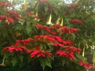 Rimbunan Bunga Kastuba Merah