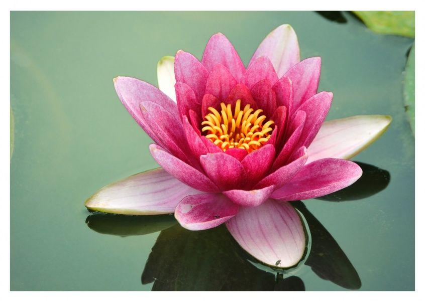 Lotusblüte Lótuszvirág, Virágok és Rajzok