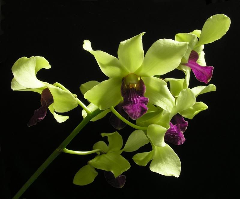 green orcids | ... Pride - Orchid Board - Most Complete ...