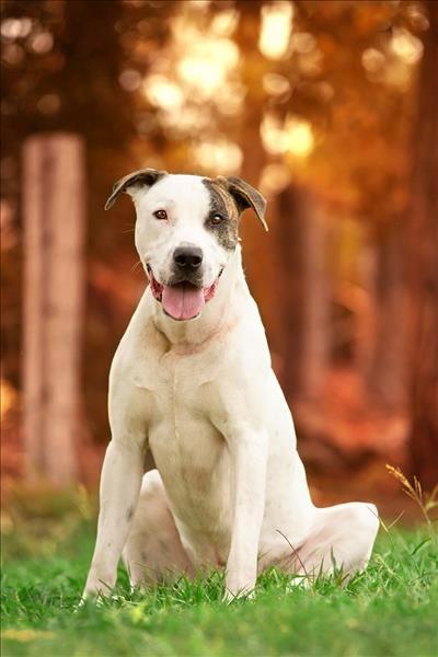 Great Dogo Chubby Adorable Dog - 6c3c46e53f19409781618b81957c8892  Photograph_773286  .jpg