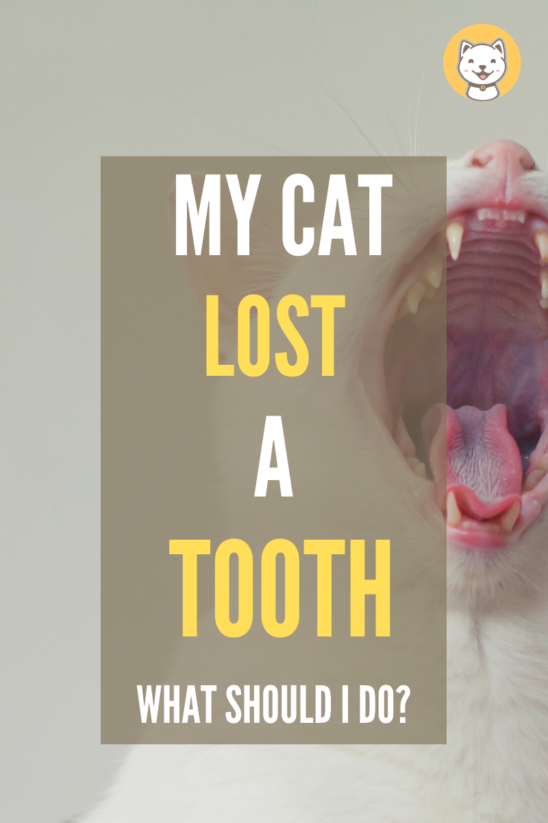 My Cat Lost A Tooth What Should I Do Kitty Cats Blog Cat Care Tips Cat Health Losing Teeth
