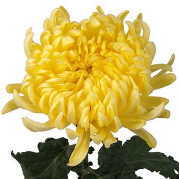 Yellow Football Mum Flower Fiftyflowers Com Mums Flowers Football Mums Yellow Flowers