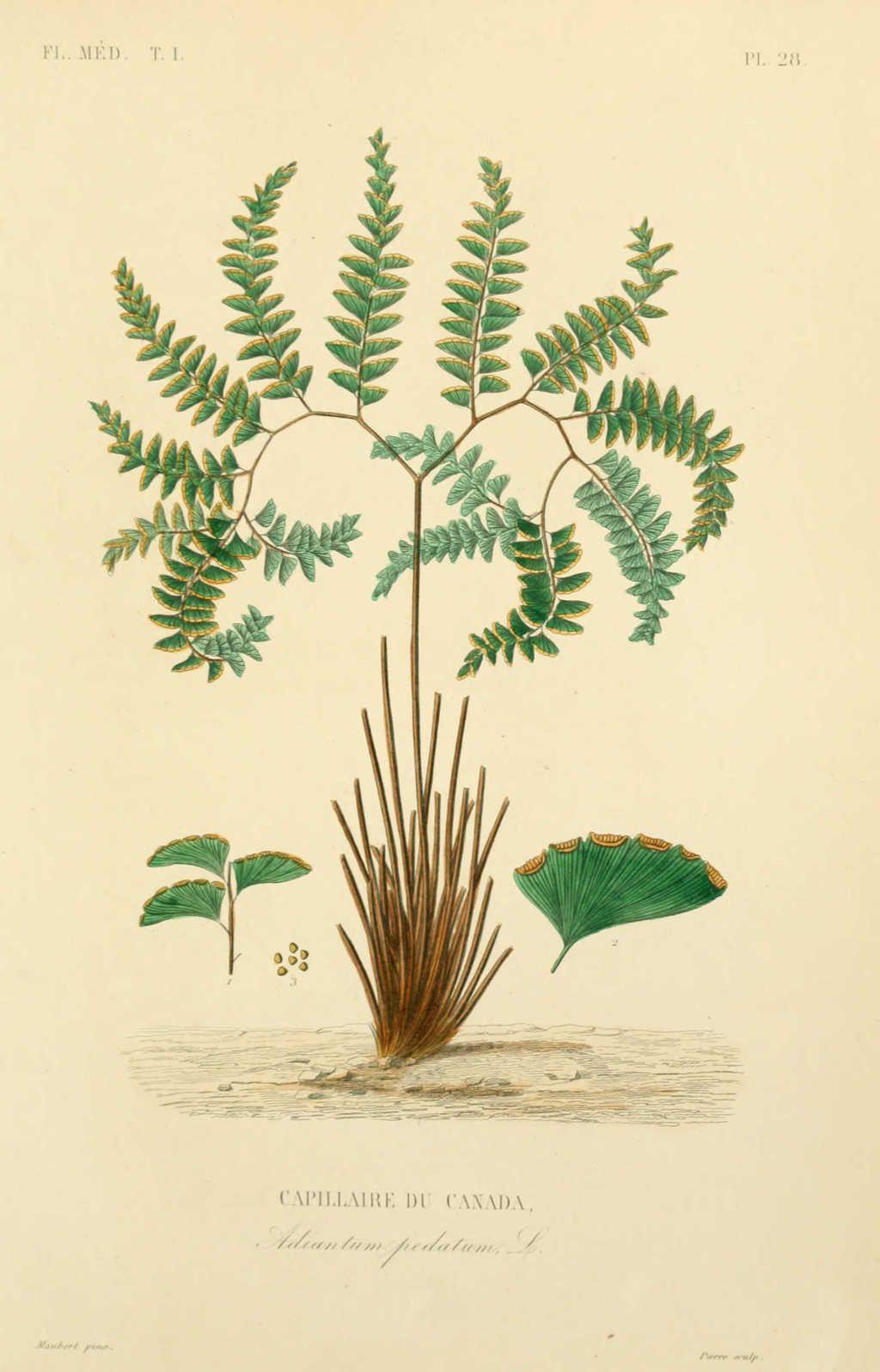 source dictionnaire des plantes com botanique nature pinterest dictionnaire. Black Bedroom Furniture Sets. Home Design Ideas