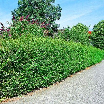 ligustrum vulgare 39 atrovirens 39 bepflanzung garten und bepflanzung. Black Bedroom Furniture Sets. Home Design Ideas