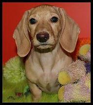 Miniature Dachshund Puppies Dapple Piebald Dachshunds