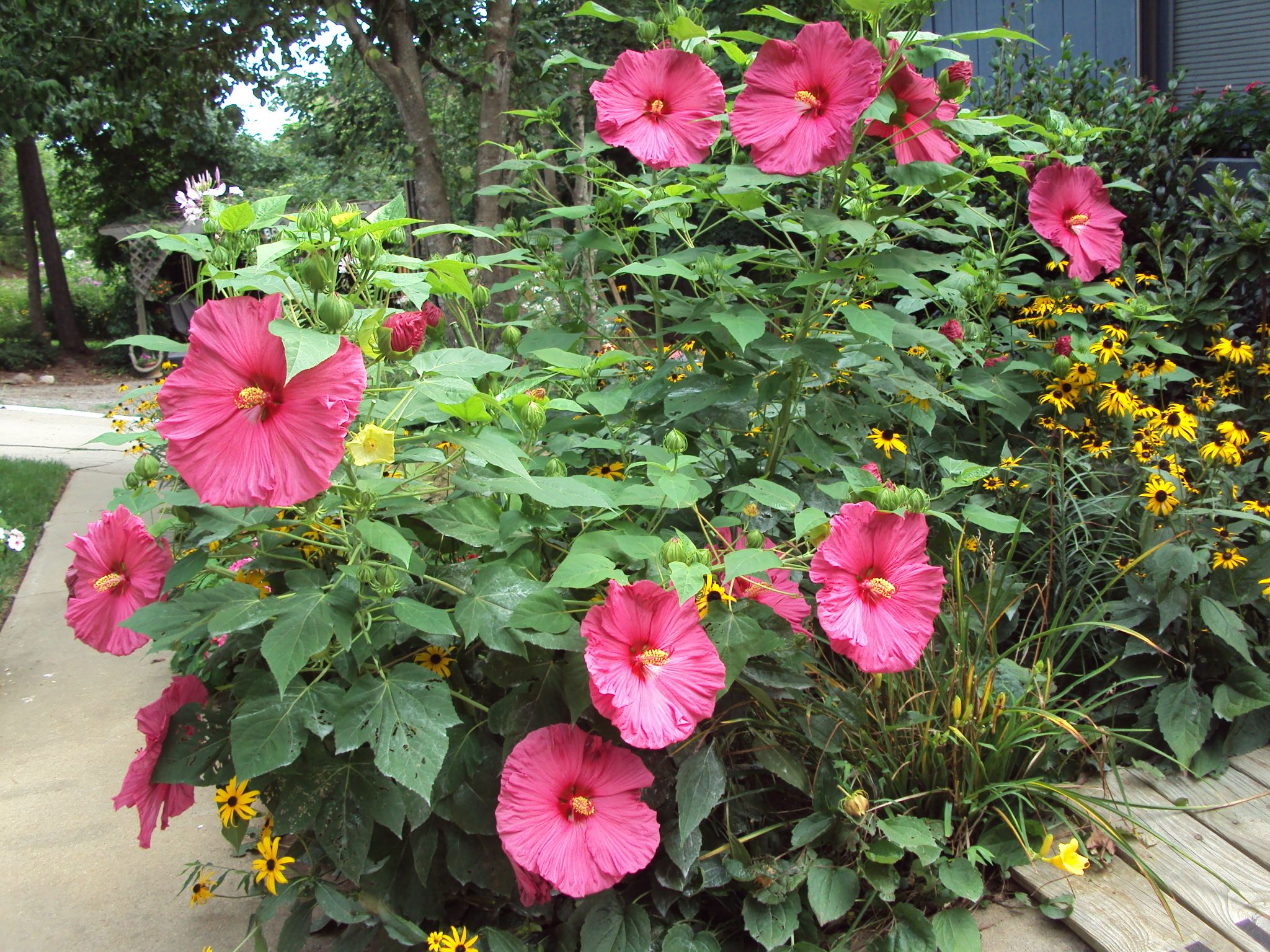 dinner plate hardy hibiscus | Flowers | Pinterest ...