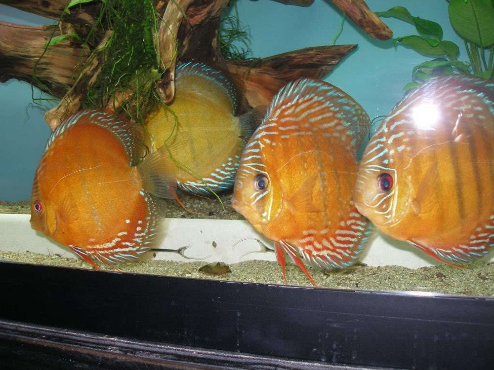 Discus fish slam red 4 discus fish live fish for Live discus fish for sale