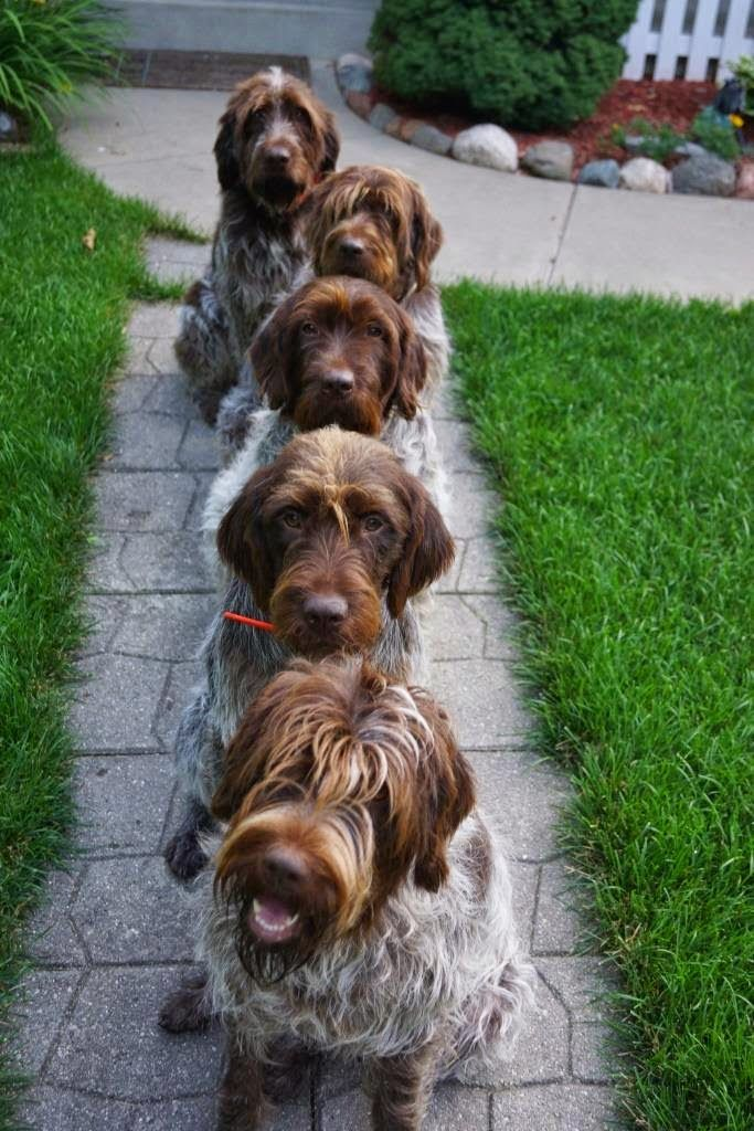 Wirehaired Pointing Griffons Navhda Akc Registered