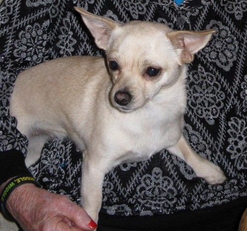 Home San Joaquin County Lost Lost Dog 05 09 15 Blonde White