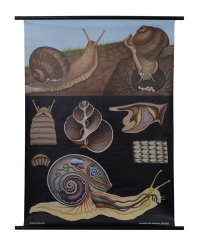 Edible Snail Zoological Poster | Pinterest | Schnecke, Kindergarten ...