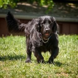 Flat-Coated Retriever Dog