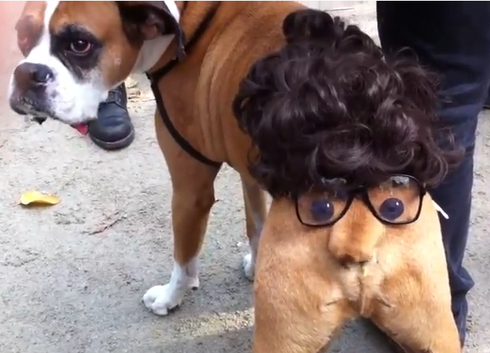 boxer energetic and funny - Halloween Costumes For Labradors